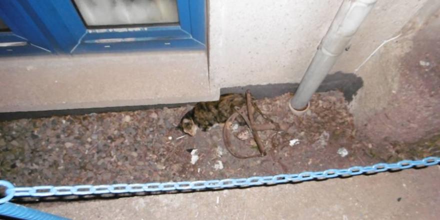 Diese Katze, die im September des vergangenen Jahres Opfer eines Tierquälers wurde, überlebte die ihr durch ein Tellereisen zugefügten Verletzungen (Foto: Landespolizeiinspektion Nordhausen)