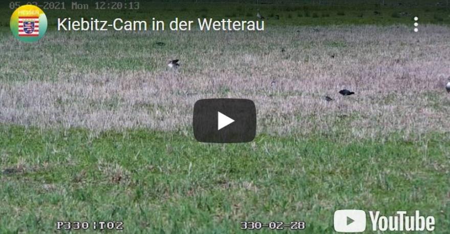 Einblicke in Lebensweise des Kiebitz und anderer Wiesenbrüter in der Wetterau liefert eine Webcam per Livestream. (Quelle: Screenshot)