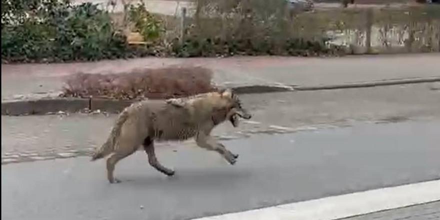 Der Wolf auf der Meyerhofstraße auf seinem Weg Richtung Lidl (Foto: Screenshot)