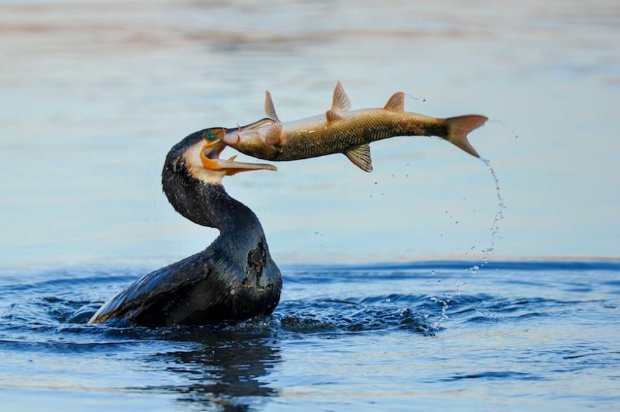 Kormoran erbeutet Fisch