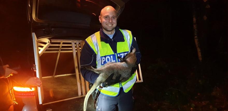 """Känguru """"Skippy"""" konnte nach einem Monat endlich von der Polizei in """"Gewahrsam"""" genommen werden."""