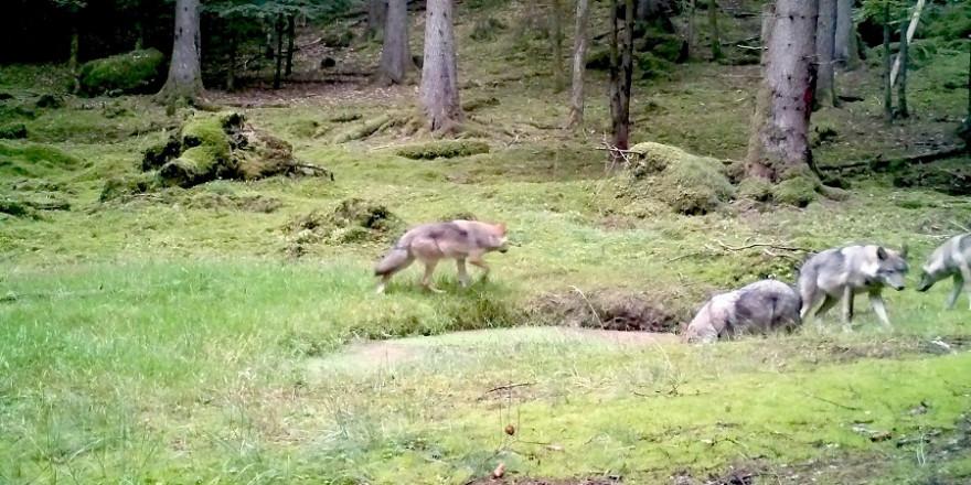 Standbild einer Videoaufnahme von vier Jungwölfen im Veldensteiner Forst (Quelle: lupovision.de / baysf)