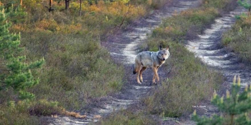 Wolfsrüde auf Wanderschaft (Symbolbild: © LfULG, Archiv Naturschutz, A. Gomille)