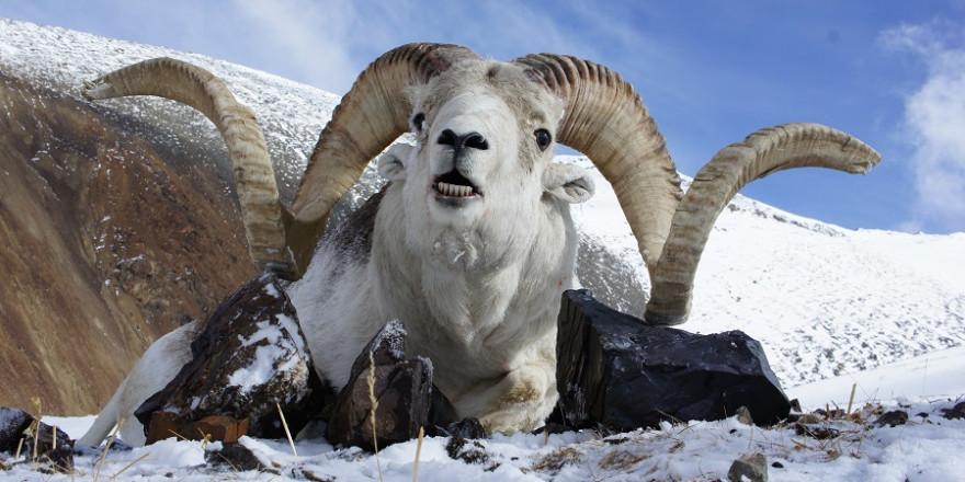 Erlegtes Argali im Schnee.