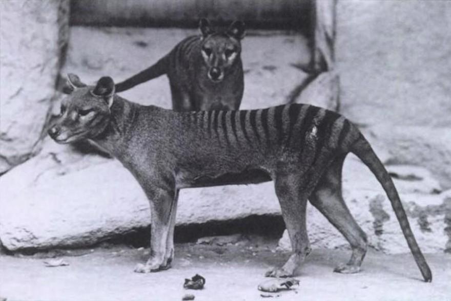 Beutelwolf