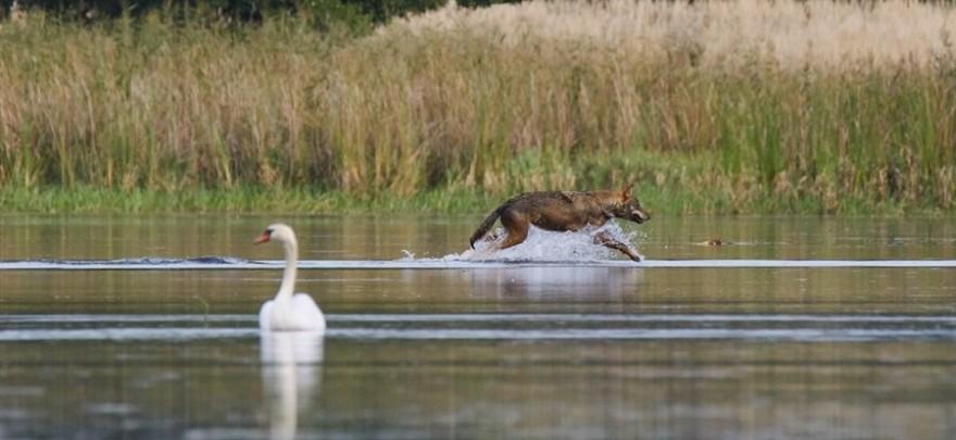 Wolf läuft durchs Wasser