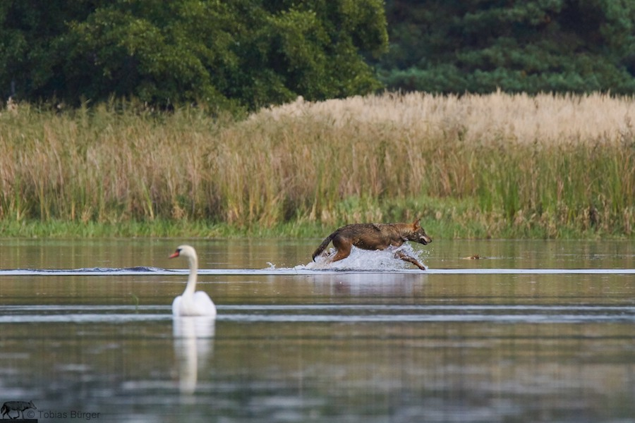 Wolf sprintet durch Flachwasser