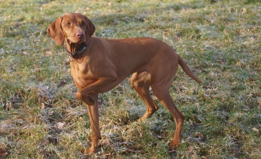 Magyar Viszla - kurzhaariger ungarischer Vorstehhund