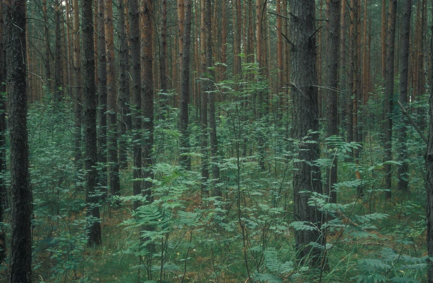 So üppig kann Vogelbeerenverjüngung auflaufen – wenn es aus dieser Gruppe einem Baum gelingt aus dem Äser zu wachsen und zu fruktifizieren, ist für dauerhaften Nachschub gesorgt. (Foto: Wald & Wild)