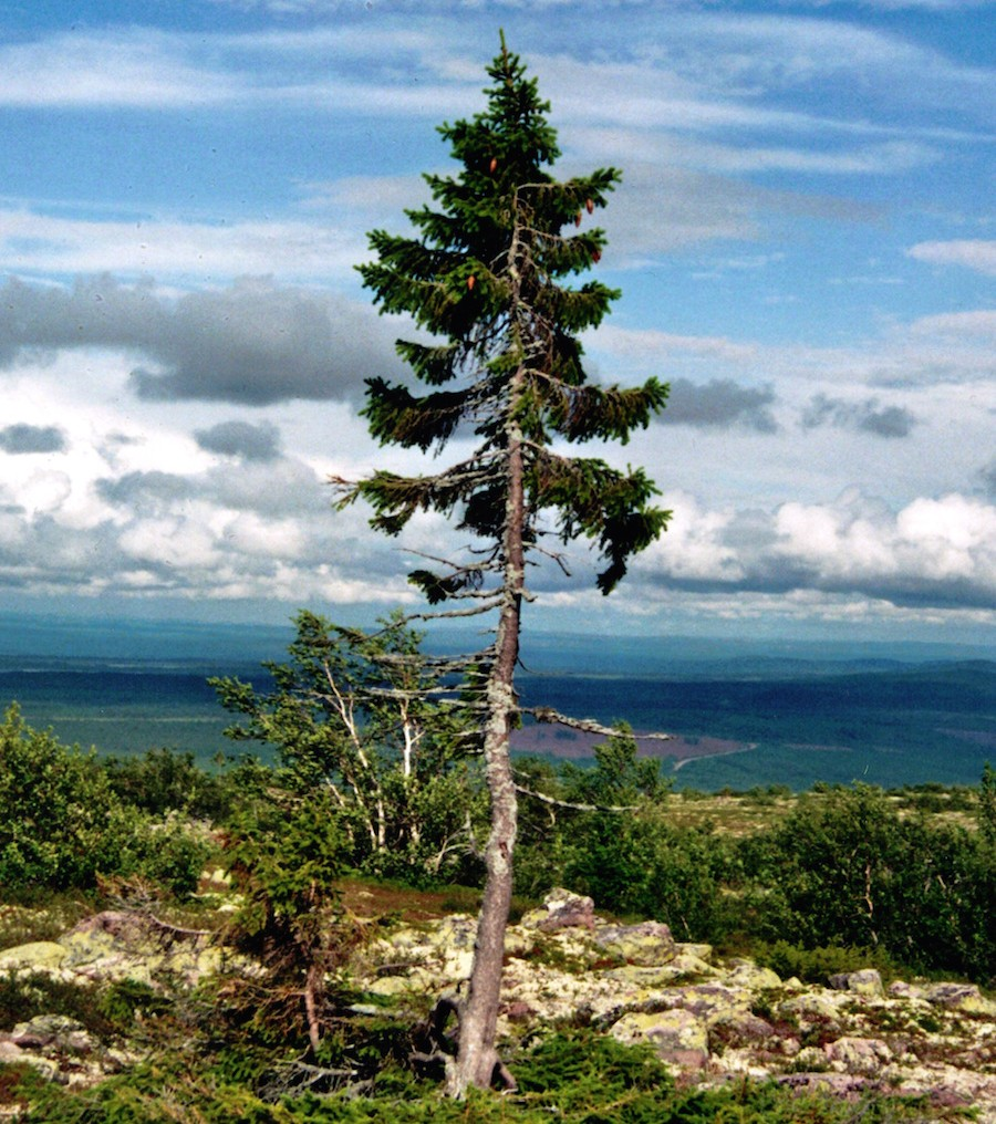 Foto: Wikipedia / Karl Brodowsky, Old-Tjikko-2011-07-19-001, CC BY 3.0 / Old Tjikko