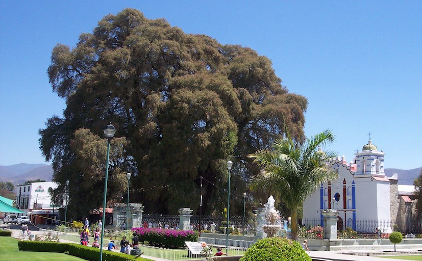 Foto: Wikipedia /  User:Gengiskanhg, Árbol-del-Tule-Oaxaca-Mexico, CC BY-SA 3.0 / Árbol del Tule in Mexiko