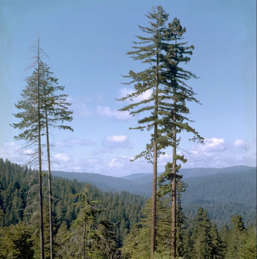 Foto: Wikipedia / Vergleichbare Bäume im Redwood Nationalpark