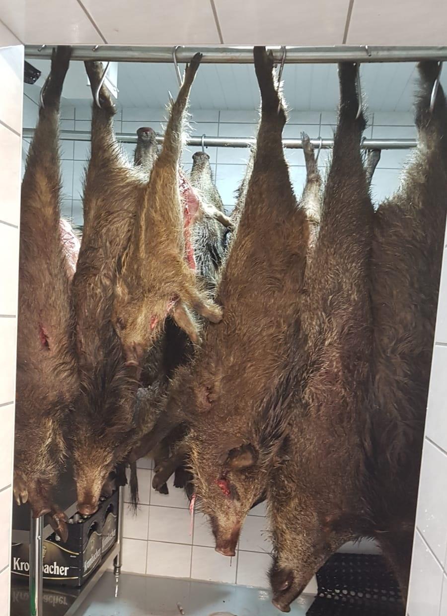 Mit 18 erlegten Wildschweinen war die Kühlkammer des Reviers Schwedenschanze gut gefüllt. Foto: hlz