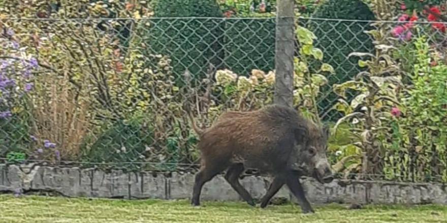 Das verirrte Wildschwein vor einem Garten in der Ortschaft Giesen (Foto: Polizeiinspektion Hildesheim)