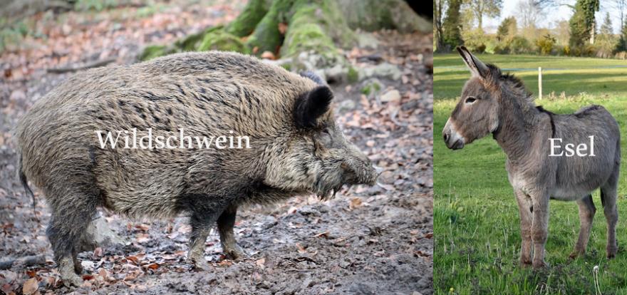 Möglicherweise traf den Esel ein Querschläger, denn Wildschweine und Esel sind eigentlich sehr gut voneinander zu unterscheiden.