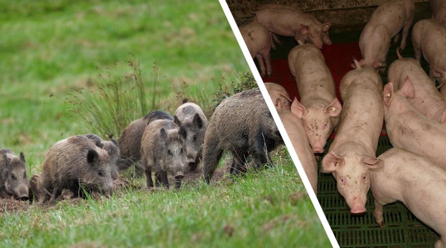 Wildschweine vs. Schweinemast