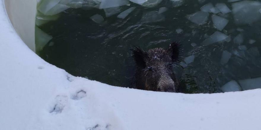 Das Wildschwein im noch zum Teil vereisten Pool (Foto: Feuerwehr Neuss)