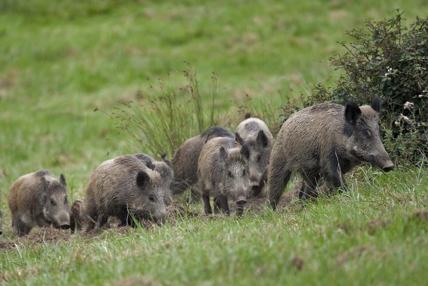 Wildschweinrotte