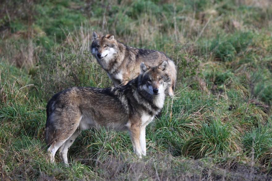 Zwei Wölfe auf einer Wiese