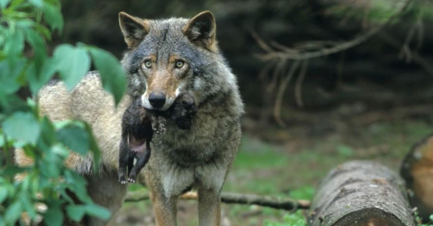 Wölfin mit Welpe im Fang