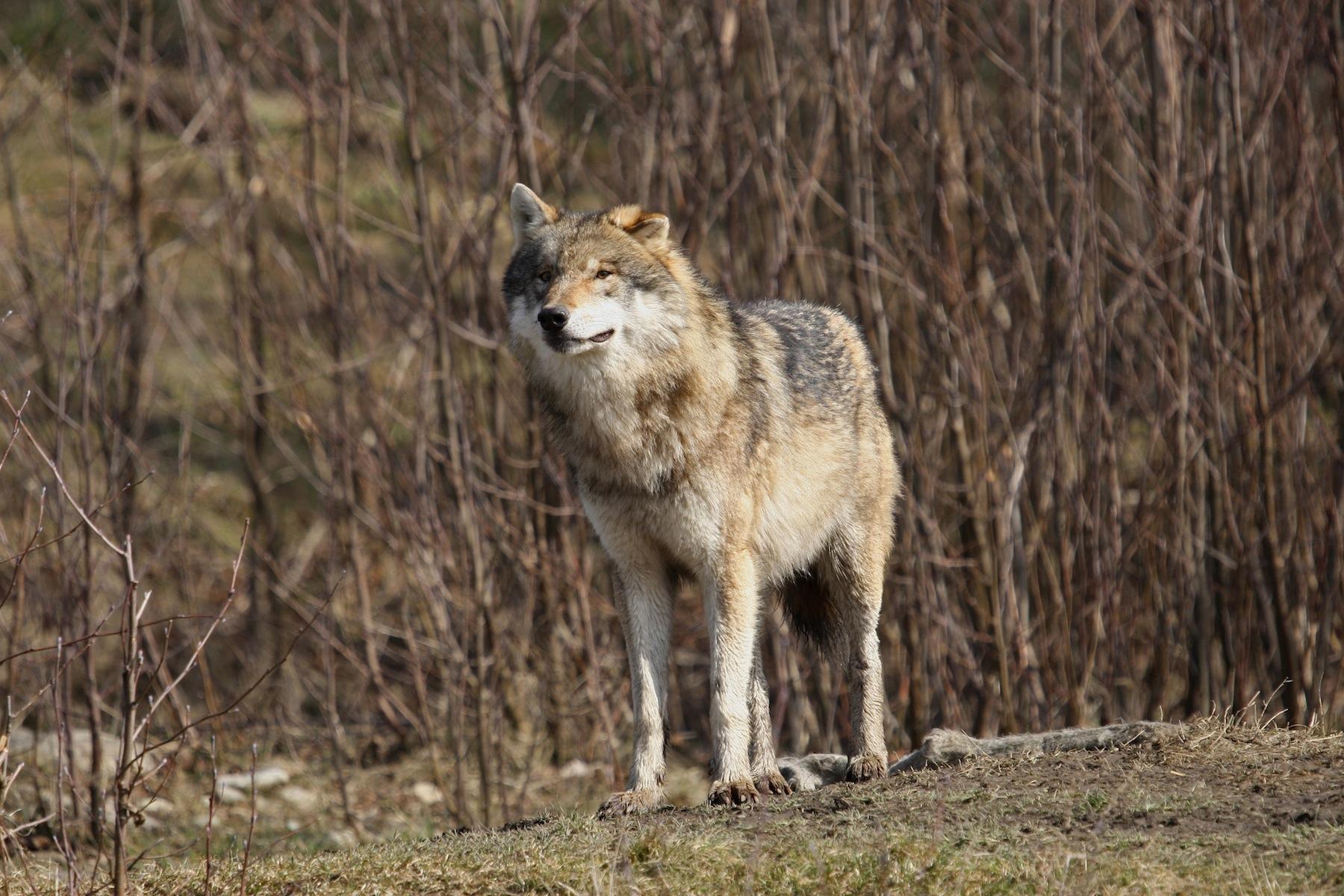 Wolf beobachtet die Umgebung