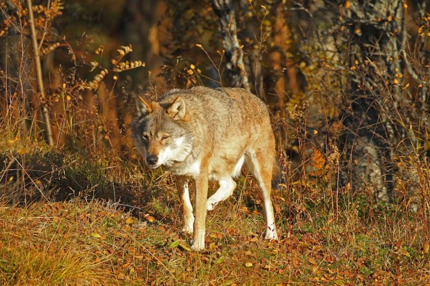 Wolf auf der Pirsch