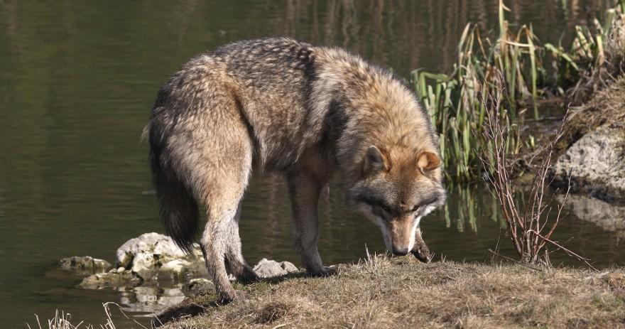 Wolf am Seeufer