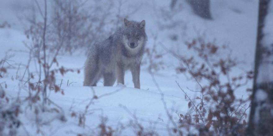 Wolf im Schneetreiben (Foto: Dieter Hopf)