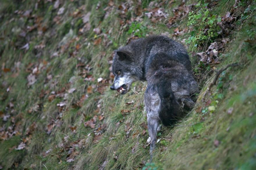 Wolf fletscht die Zähne