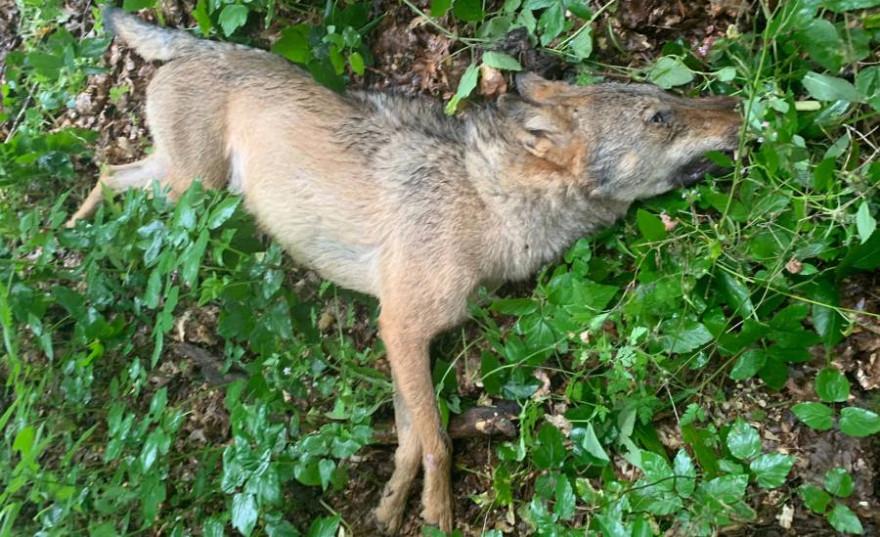 Verendeter Wolf in Stübeckshorn (Foto: Polizei)