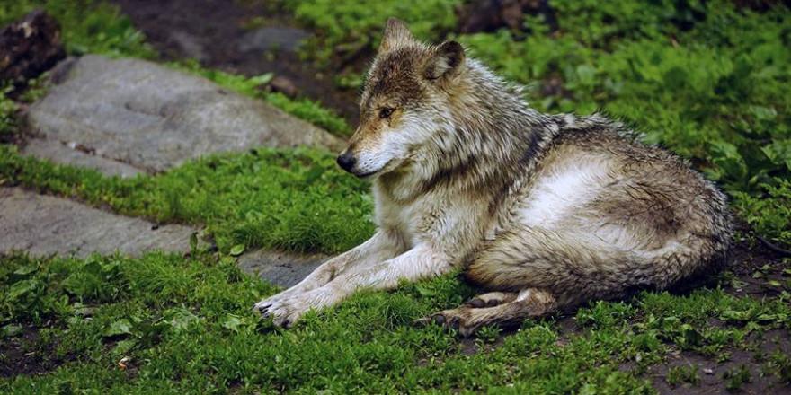 Ein liegender Wolf (© Landesforsten RLP Lamour/Hansen)