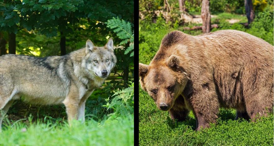 Wolf und Bär