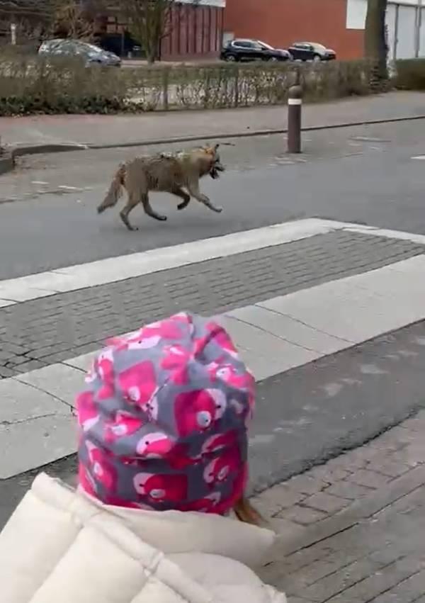 Der Wolf kam Vater und Tochter sichtlich nah (Foto: Screenshot)