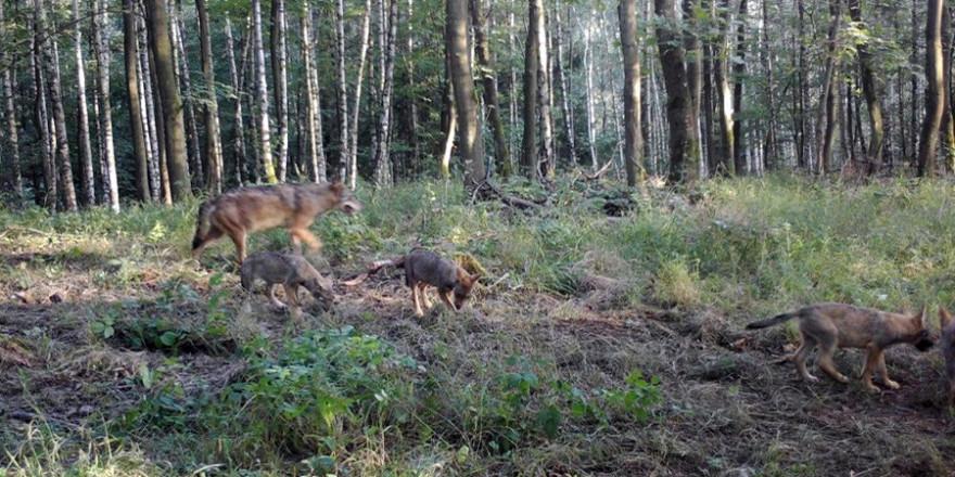 Wolfsfamilie (© Wildtierkamera)