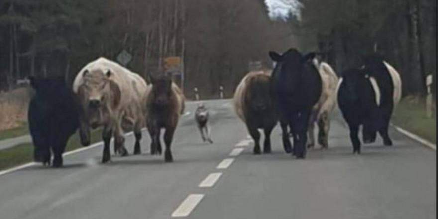 Der vermeintliche Wolf hetzte die Rinder auf der Fahrbahn der Landstraße etwa 2 km vor sich her (Foto: WR/Polizeiinspektion Celle)