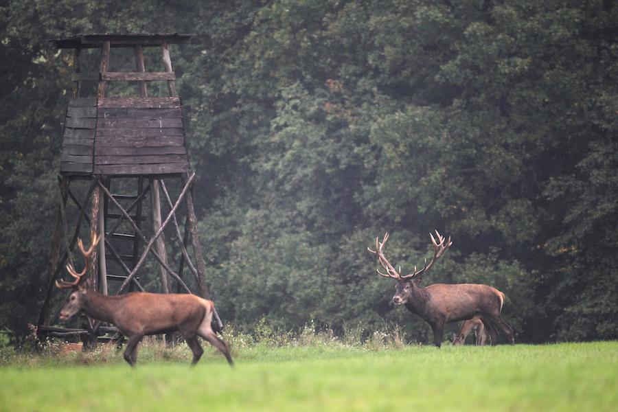 Hirsche vor Hochsitz
