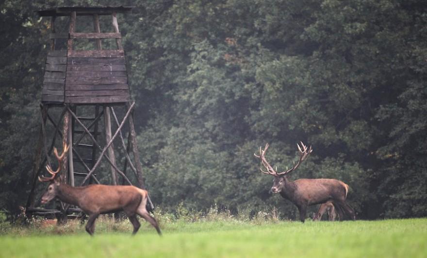 Hirsche vor einem Hochsitz