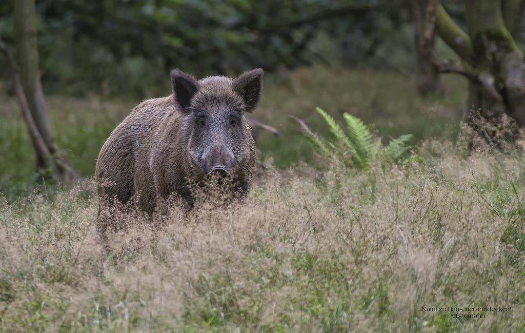 Einzelnes Wildschwein