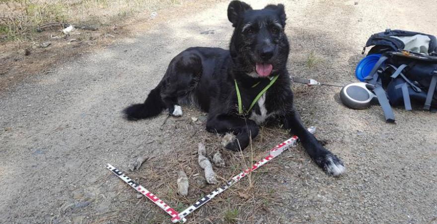 Ein Artenspürhund mit Wolfslosung (Foto: ©FVA)
