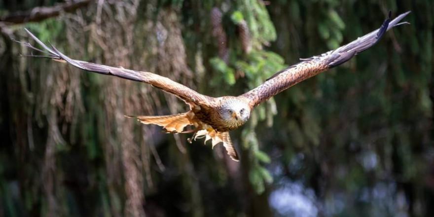 In der Rhön wurden mehrere tote Greifvögel, darunter auch Rotmilane gefunden. (Beispielbild: Herbert Aust)