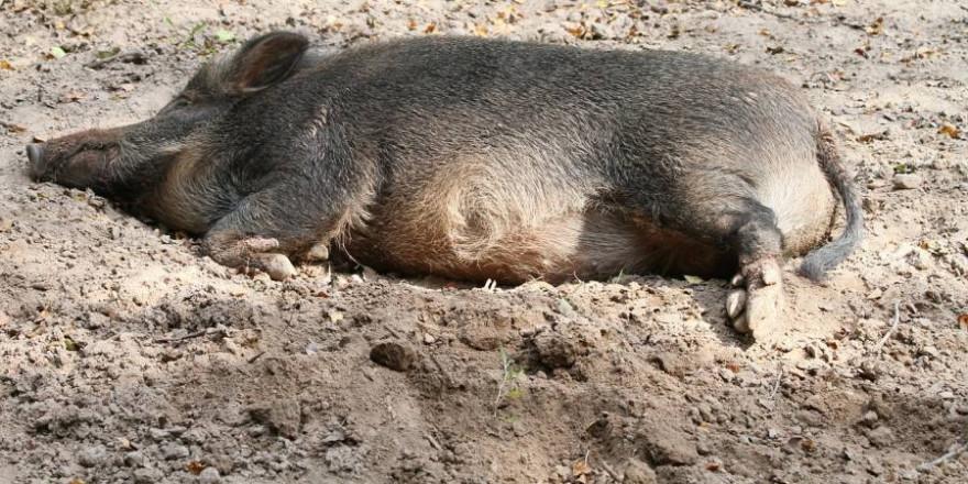 Wildschwein auf dem Boden liegend (Foto: vulkhan-22)