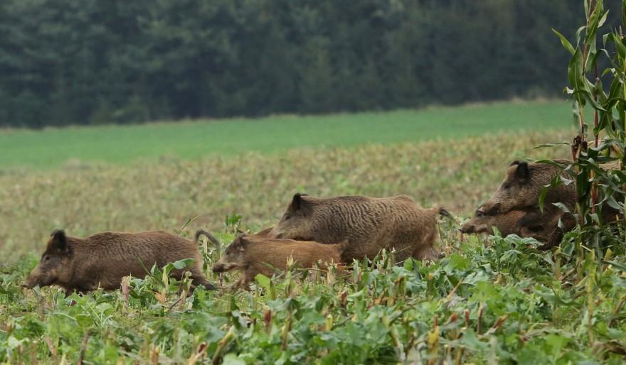 Wildschweinrotte im Maisfeld