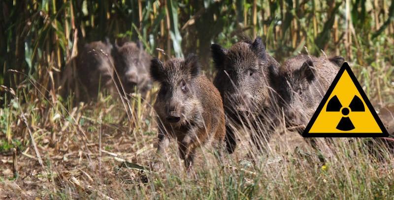 Wildschweine im Maisfeld