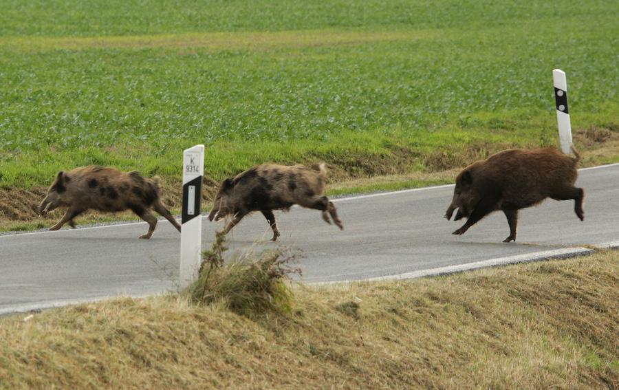 Rotte Sauen überquert Straße