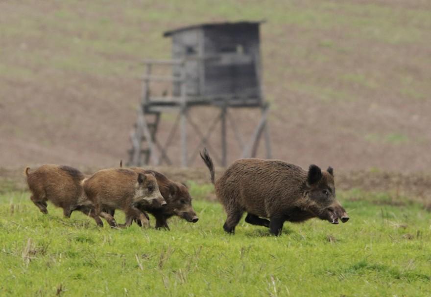 Wildschweine auf Trab