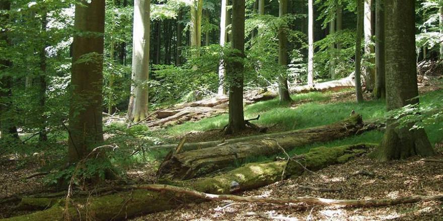 Ein sich natürlich entwickelnder Buchenbestand im Naturwaldreservat Brunnstube, nördlicher Steigerwald, in Bayern (Foto: © Hagen Kluttig)