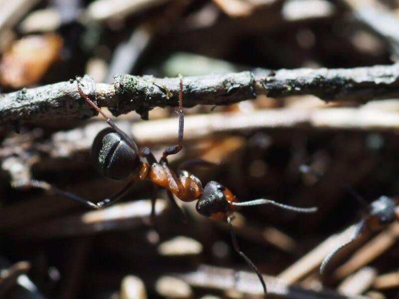 Ameisen sind ein wichtiger Teil des Ökosystems Wald (Foto: Wald und Holz NRW, Stefan Befeld)