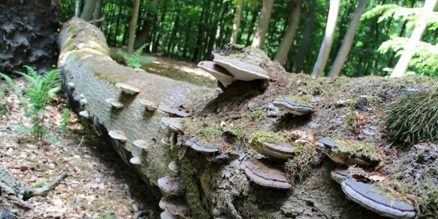 (Bild: Dr. Burkhard Herzig, Wald und Holz NRW)