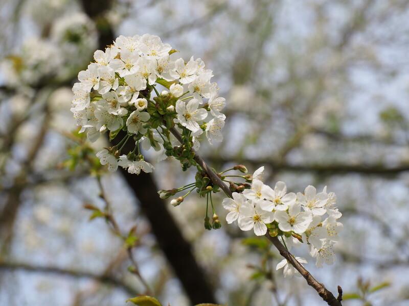 Kräftige Blüte an Vogelkirsche - 2021 Ausnahmen unter den Waldbäumen, wie auch an Birke und Feldahorn. (Bild: Wald und Holz NRW)