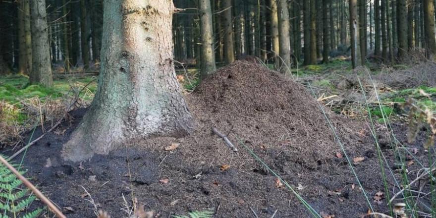 Die Nesthügel der Waldameise beherbergen mehr als eine Millionen Waldameisenarbeiterinnen (Foto: Wald und Holz NRW, Stefan Befeld)